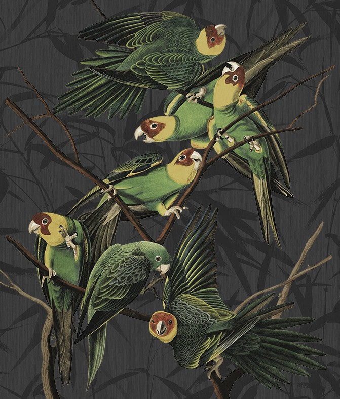 John James Audubon Carolina Parrot - grey